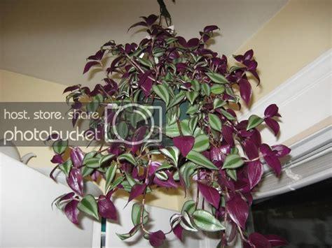 plant id   purpleish hanging plant