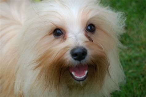 happy paws havanese this is a beautiful of pumpkin in taken by sydney middleton who has one