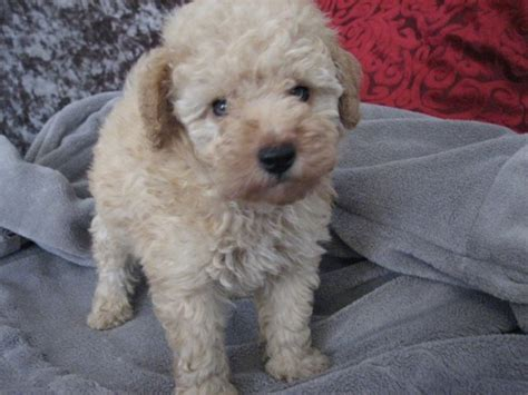 free puppies sc poodle puppy for sale in islandtion south carolina
