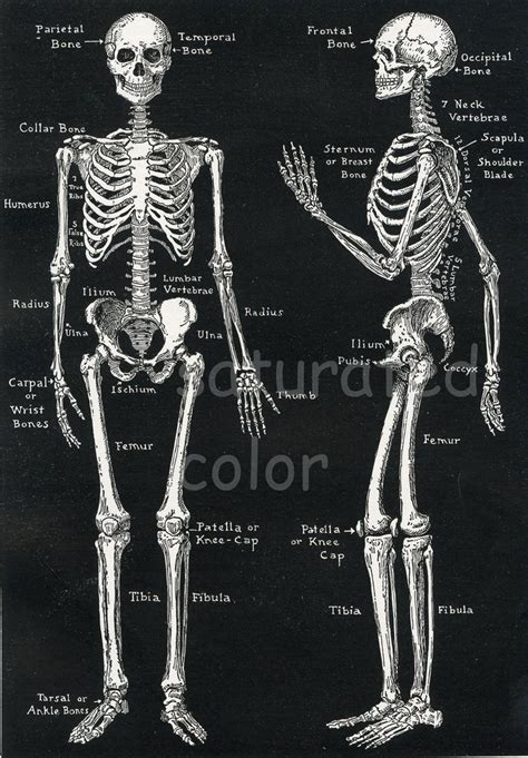 best 25 human skeleton bones ideas only on skeleton anatomy labelled best 25 skeleton anatomy ideas only on human skeleton anatomy bones and skeleton