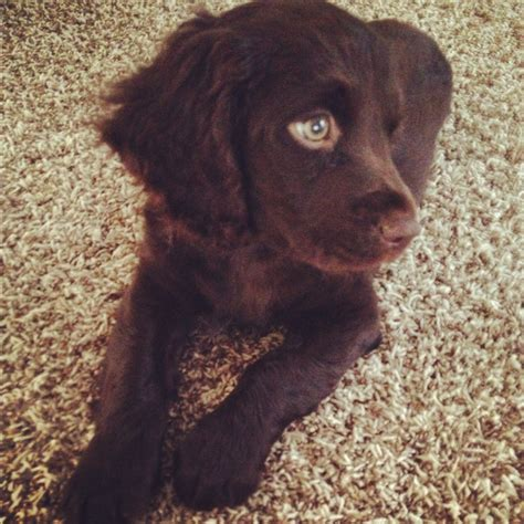 boykin spaniel puppies pin boykin spaniel puppies image search results on