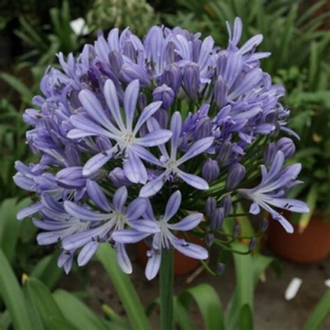 buy agapanthus plants online african lily plants for sale agapanthus for sale uk