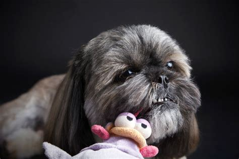 why does my shih tzu follow me everywhere 20 pictures that will make you smile american kennel club