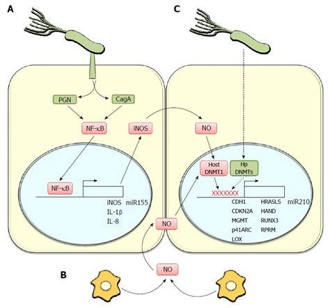 protein h pylori helicobacter pylori induced inflammation and epigenetic