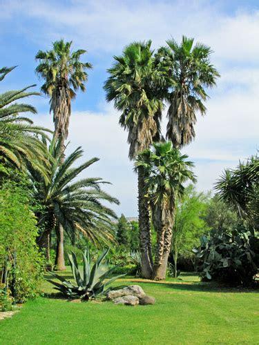 giardini con palme biviere palme monumentali mimma pallavicini s weblog