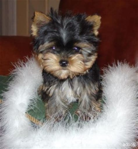 looking for a teacup yorkie adorable teacup yorkie puppies looking for a new home brookfield ct asnclassifieds