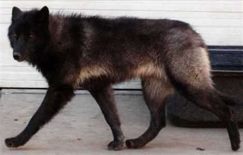 black wolf puppies for sale wolf hybrid
