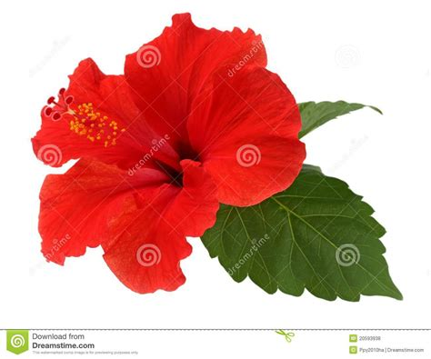 Big White Boards a red hibiscus flower royalty free stock photos image