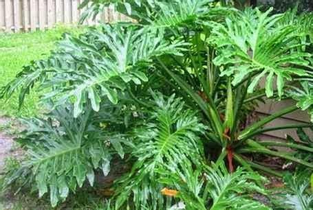 Tanaman Hias Daun Philodendron Keris Variegata memilih tanaman hias daun mediatani