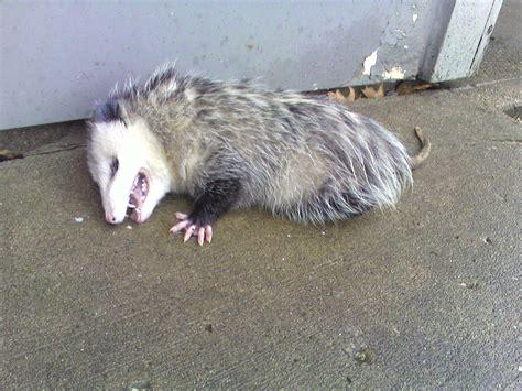 play dead possum mollypretty