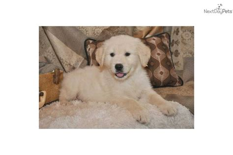 show me pictures of baby golden retrievers golden retriever puppy for sale near springfield missouri 9a73ecde fe31