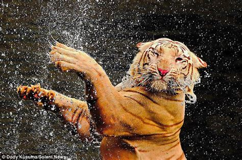vaggina bagnata here s one cat that does like water tiger takes a