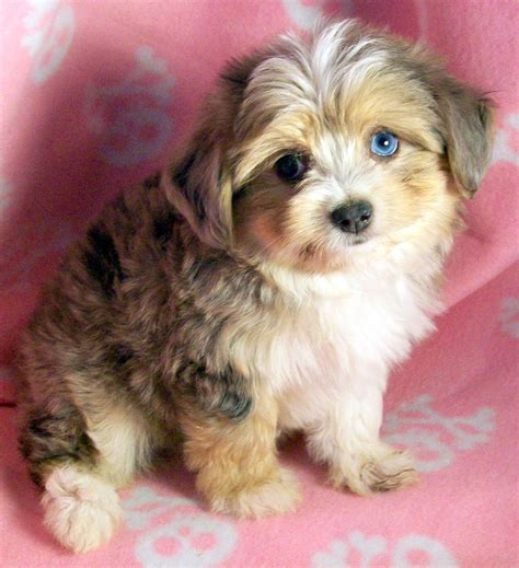 mini australian puppies australian shepherd shih tzu mix quotes