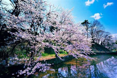 imagenes cerezo japones cerezo japon 233 s en flor 5112