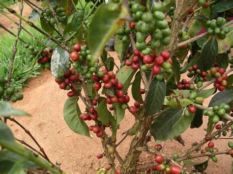 Coffee Tree how these sustainable coffee farmers are changing lives in