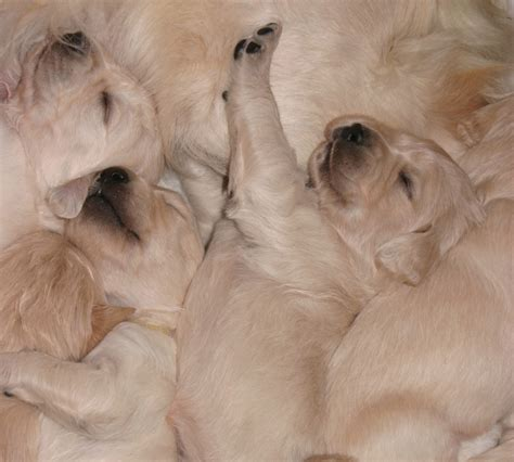 thistledown golden retrievers a breeder s welcomes you to the world of
