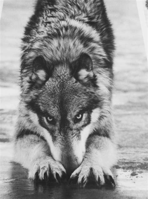 imagenes tumblr lobos animais selvagens tumblr pesquisa do google wolves