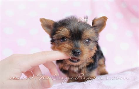 yorkie puppy teeth 100 best images about puppies by teacups puppies and boutique on puppys