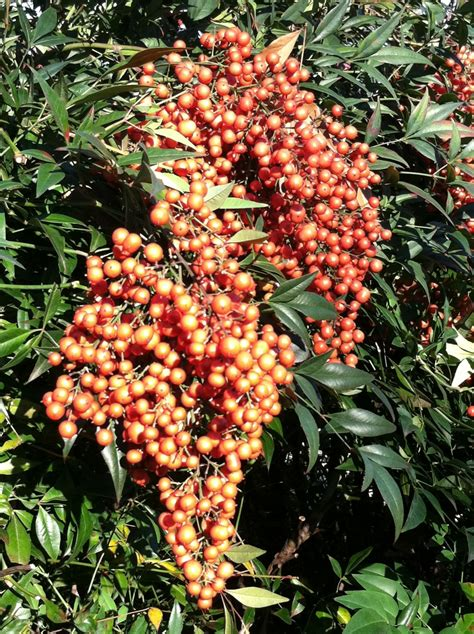 is lantana poisonous to dogs winter s merry berries carry risks unc institute