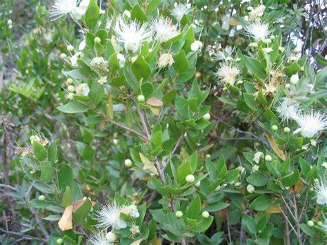 myrtle plant myrtus