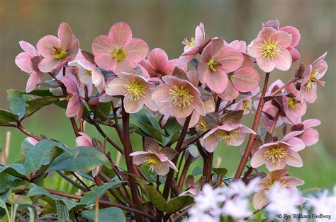 hellebores plant care and collection of varieties garden org