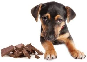 why does chocolate kill dogs does chocolate really kill dogs siowfa15 science in our world certainty and