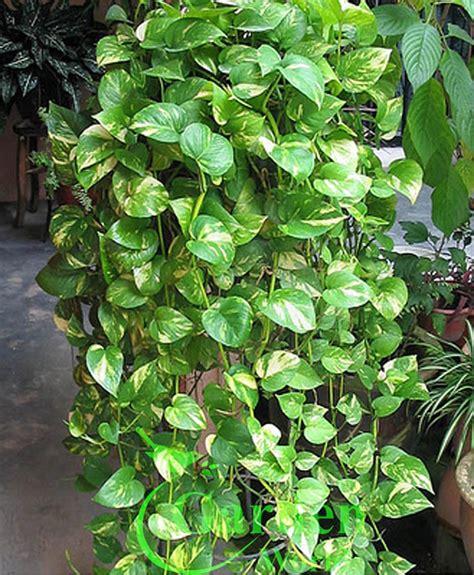 indoor vine money plant google search plants pinterest money