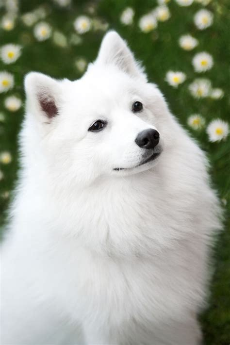 Do Japanese Spitz Shed by 25 Best Ideas About Japanese Spitz On