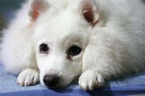 spitz dogs indian spitz photo and wallpaper beautiful indian spitz pictures