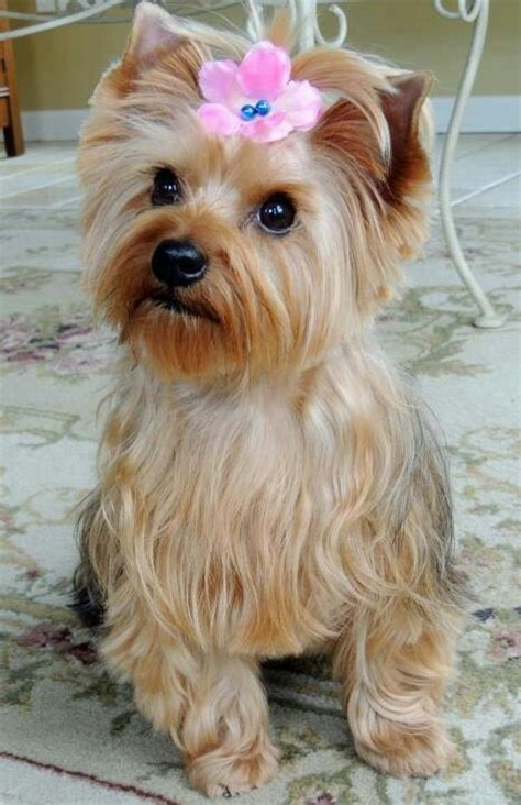 yorkies personality temperament and personality of terrier many