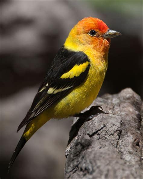 bird species western tanager