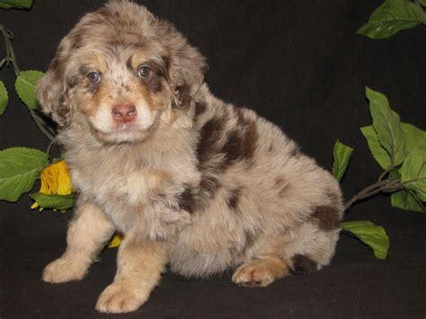 poodle mix dogs aussiedoodle australian shepherd poodle mix