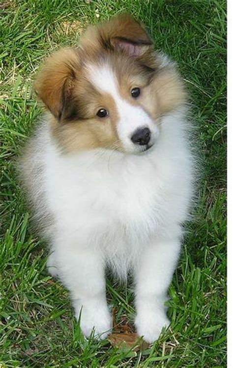 sheepdog puppies dogs pets shetland sheepdog sheltie puppies