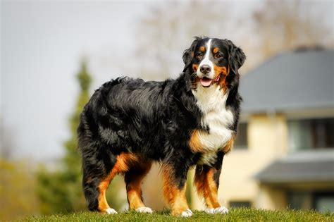 great bernese mountain 7 breeds that are great for anxiety doggie district az
