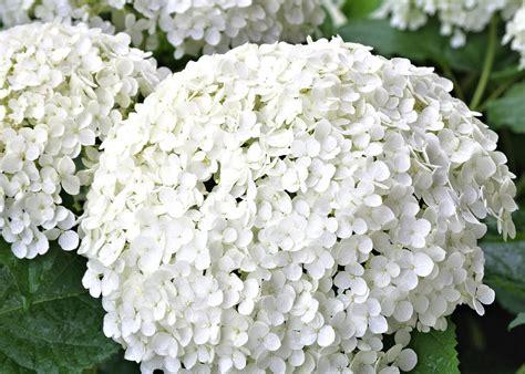imagenes de hortencias blancas photo gratuite hortensia blanc fleur jardin image