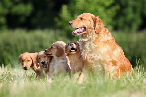 golden retriever puppy farm 25 dogs and their puppies for s day pics