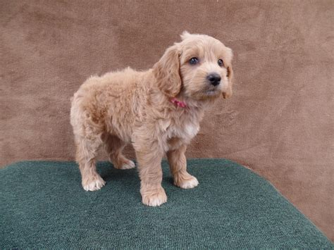 mini goldendoodles orlando just labs kennels home of mini goldendoodles mini