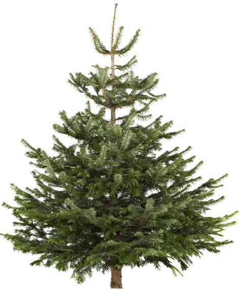 real christmas trees bq the cheapest places to buy a real tree this year mirror