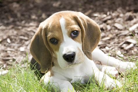 baby beagle puppies baby beagle puppies www pixshark images galleries with a bite