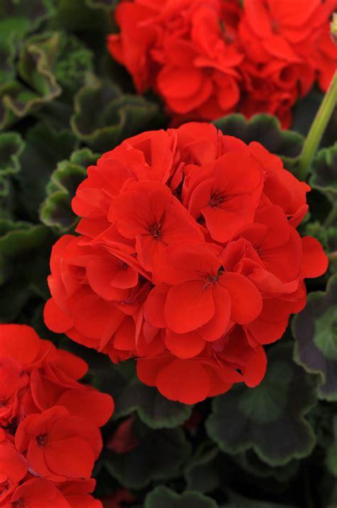 geranium zonal annuals garden outdoor plants
