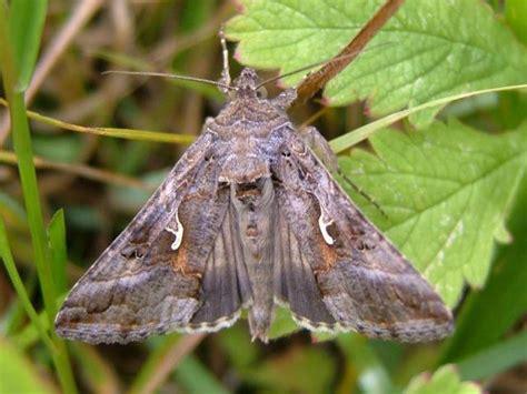 imagenes de mariposas nocturnas las polillas presentes estos d 237 as en navarra no
