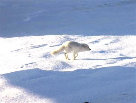 arctic fox wikipedia the free encyclopedia file arctic fox 1997 08 05 jpg wikipedia