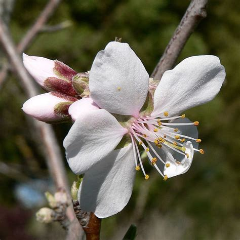 almond flower with 2 buds flickr photo sharing