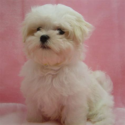 maltese puppies for sale in tn best 25 dogs for sale ideas on small puppies small puppies for sale and