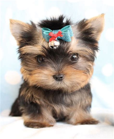 teacup yorkie florida 17 best images about teacup yorkie poo on pets yorkies and so