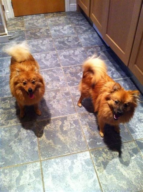 2 month pomeranian puppy 2 pomeranian 9 month dogs for sale newcastle upon tyne tyne and wear pets4homes