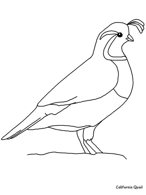 coloring page of a quail state bird coloring pages coloring home