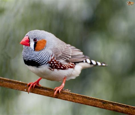 bird profile zebra finch pets4homes