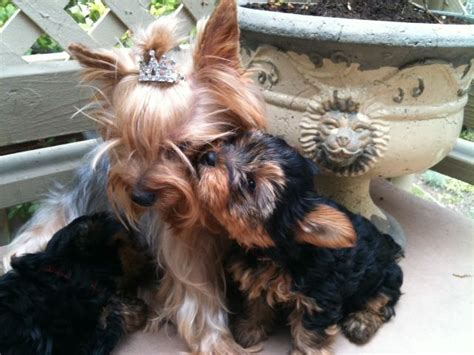 best shoo for yorshireterrierpuppies 17 best images about yorkie love on pinterest
