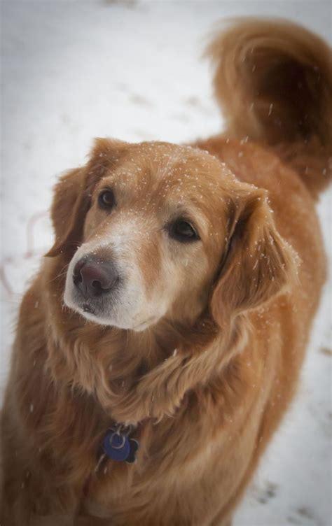 best dryer for golden retrievers 268 best golden retrievers images on animals golden retriever puppies and